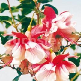 fuchsie Tausendschon - Fuchsia Tausendschon