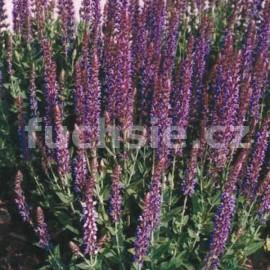 šalvěj nádherná Merleau - Salvia × sylvestris Merleau
