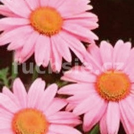 kopretina řimbaba - Chrysanthemum coccineum