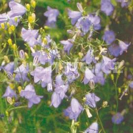 zvonek okrouhlolistý - Campanula rotundifolia