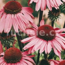 třapatka nachová Magnus - Echinacea purpurea Magnus