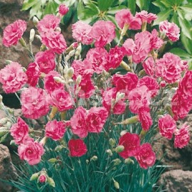 hvozdík - Dianthus × allwoodii