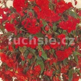 begónie hlíznatá Chanson - tmavě červená - Begonia × tuberhybrida Chanson - tmavě červená