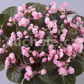voskovka - Begonia cucullata