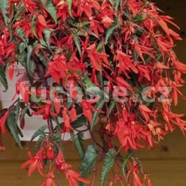 voskovka - Begonia boliviensis