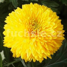 listopadka Escort - Chrysanthemum Escort