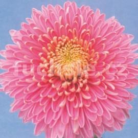 listopadka Hazel Zwager - Chrysanthemum Hazel Zwager