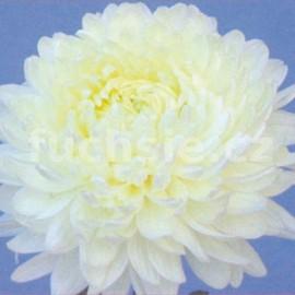 listopadka Evelyn Bush - Chrysanthemum Evelyn Bush