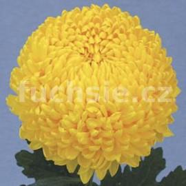 listopadka Creamist - Chrysanthemum Creamist