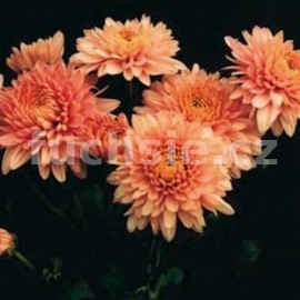 listopadka Gompie - Chrysanthemum Gompie