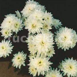 listopadka Klaudie - Chrysanthemum Klaudie