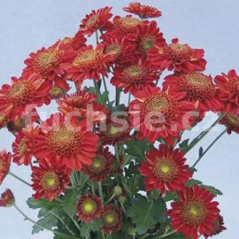 listopadka Kordia - Chrysanthemum Kordia