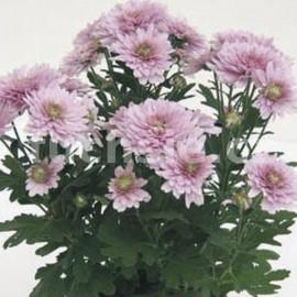 listopadka Cindy - Chrysanthemum Cindy