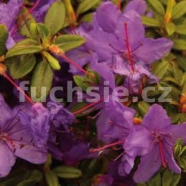 Pěnišník Roland - Rhododendron Roland