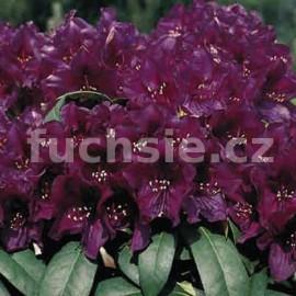 Pěnišník Polarnacht - Rhododendron Polarnacht
