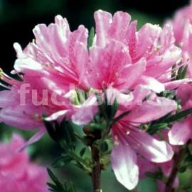 Pěnišník azalka Western Lights - Rhododendron - Azalea Western Lights