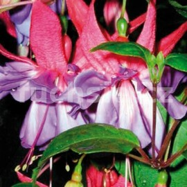 fuchsie Enchanted - Fuchsia Enchanted