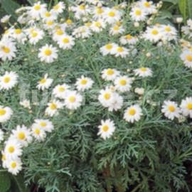 kopretinovec dřevnatý Sugar Baby - Argyranthemum frutescens Sugar Baby
