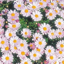 kopretinovec - Argyranthemum