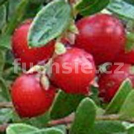brusinka obecná - Vaccinium vitis-idaea