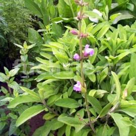 ananasová šalvěj Pino - Salvia rutilans Pino