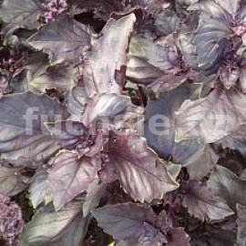 bazalka pravá Chianti - Ocimum basilicum Chianti