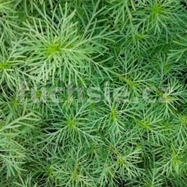 aksamitník - Tagetes filifolia