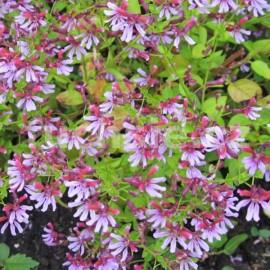 hlazenec - Cuphea ramosissima