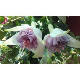fuchsie Roesse Sputum - Fuchsia Roesse Sputum