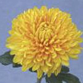 listopadka Bornholm - Chrysanthemum Bornholm