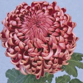 listopadka Daily Mirror - Chrysanthemum Daily Mirror