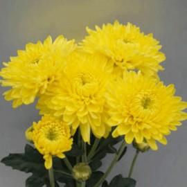 listopadka Ellen Geel - Chrysanthemum Ellen Geel