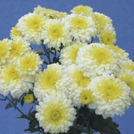 listopadka Ellen - Chrysanthemum Ellen
