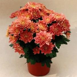 listopadka Tosca - Chrysanthemum Tosca