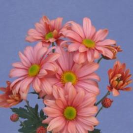 listopadka Salmon Delta - Chrysanthemum Salmon Delta