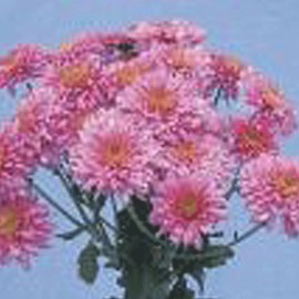 listopadka Rosita - Chrysanthemum Rosita
