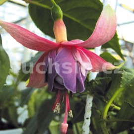 fuchsie Bloemelingen - Fuchsia Bloemelingen