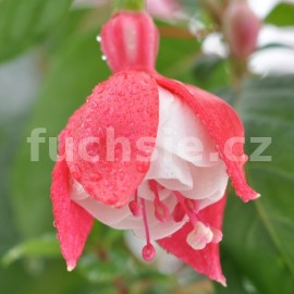 fuchsie Tolling Bell - Fuchsia Tolling Bell