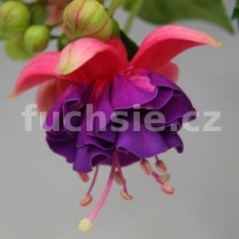 fuchsie Jollies Force Colmar - Fuchsia Jollies Force Colmar