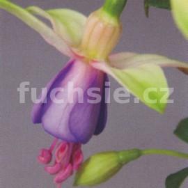fuchsie Jollies Trailing Belford - Fuchsia Jollies Trailing Belford