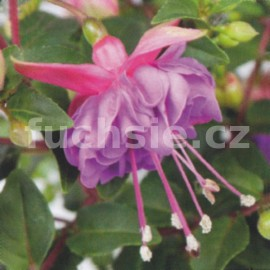 fuchsie Jollies Force Bondy - Fuchsia Jollies Force Bondy