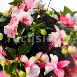 fuchsie Double Pink White - Fuchsia Double Pink White