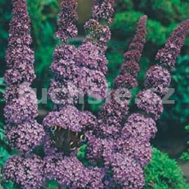 komule Davidova Orchid Beauty - Buddleja davidii Orchid Beauty