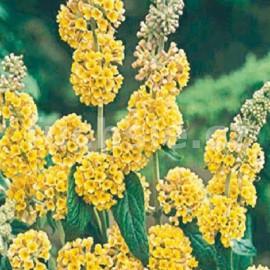 komule Weyerova Sungold - Buddleja × weyeriana Sungold