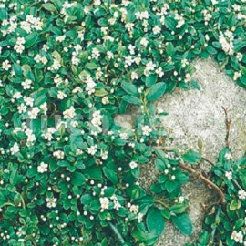 skalník Dammerův Major - Cotoneaster dammeri Major